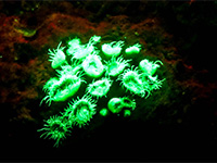Try Biofluorescent-Night-Diving in Cambodia